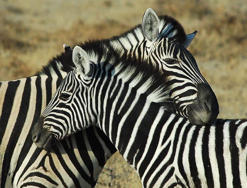 Picture 6 of 14 - Zebra (Equus Zebra, Equus Quagga, Equus Grevyi ...