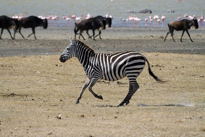 What is the population of zebras in the world?