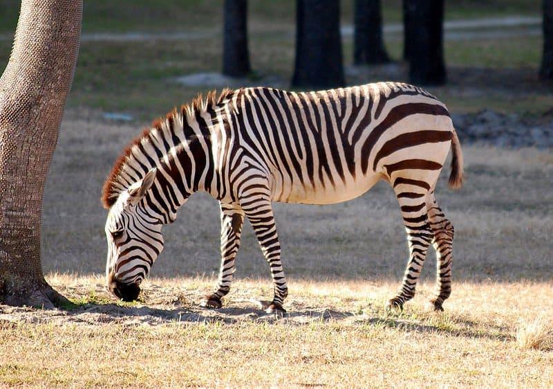 Picture 4 of 14 - Zebra (Equus Zebra, Equus Quagga, Equus Grevyi ...