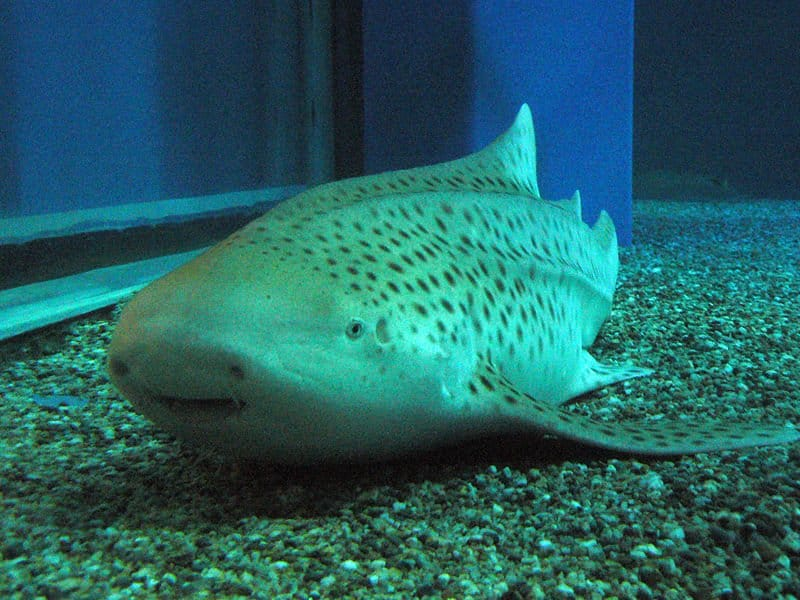 Zebra SharkZebra Shark