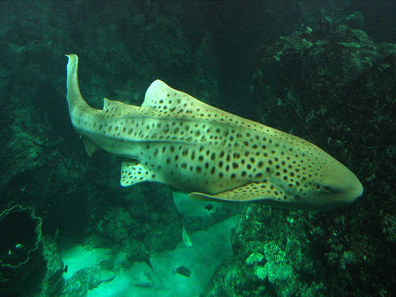 zebra shark -Stegostoma fasciatum - zebra shark swimming near coral