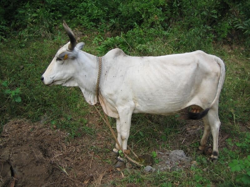 Zebu Net Worth