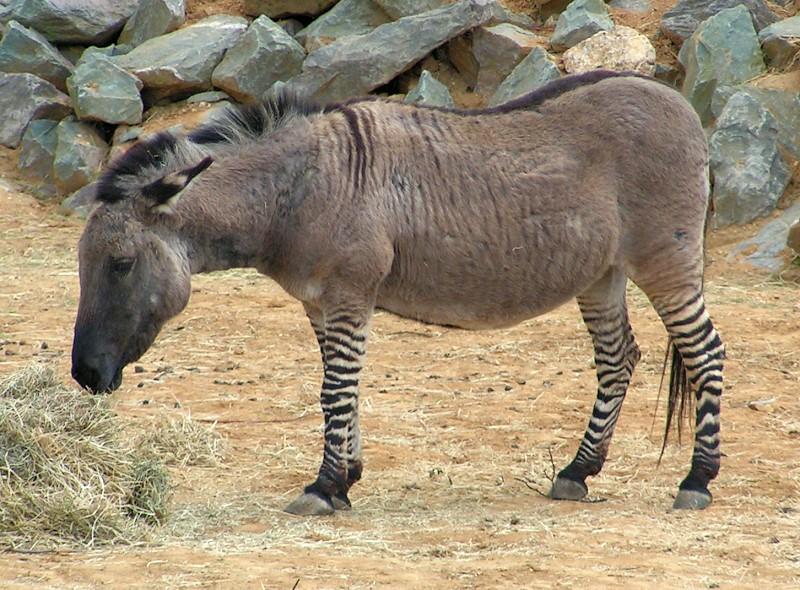 Picture 3 of 7 - Zonkey (Equus Zebra X Equus Asinus) Pictures & Images - Animals - A-Z Animals