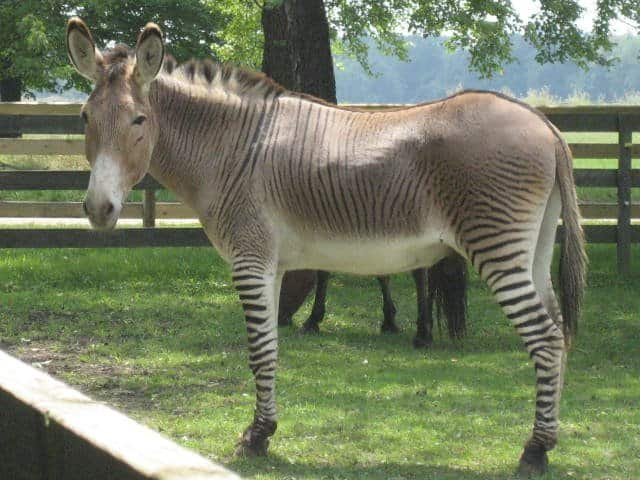 Image result for zonkey