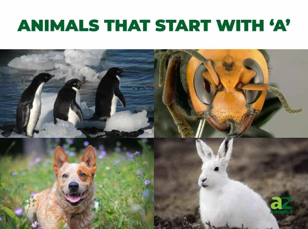Animals that start with the letter A, including the Adelie Penguin & Arctic Hare