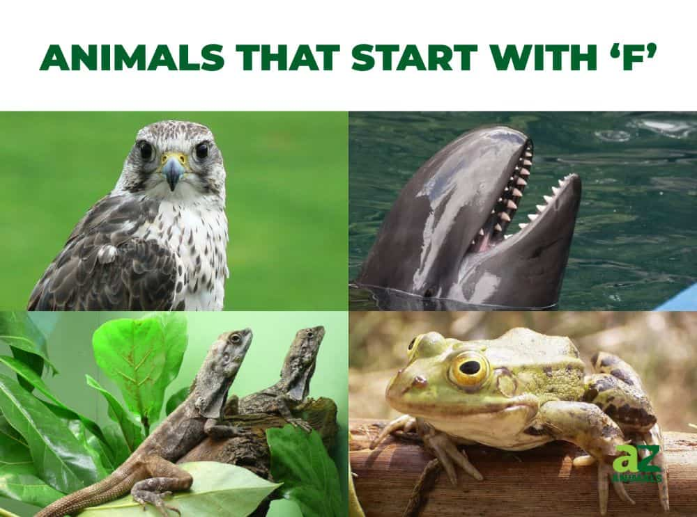 Animals that start with the letter F, including the Falcon & Frilled Lizard