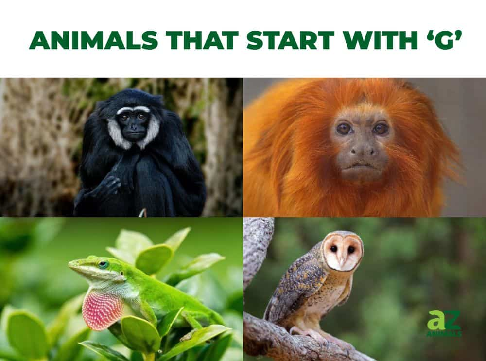 Animals that start with the letter G, including the Golden Masked Owl & Golden Lion Tamarin