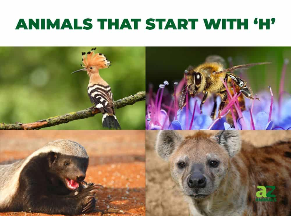 Animals that start with the letter , including the Honey Badger & Honey Bee