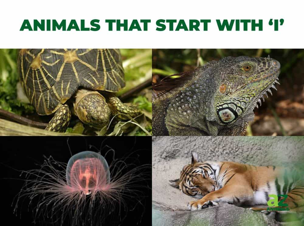 Animals that start with the letter I, including the Immortal Jellyfish & Indian Star Tortoise