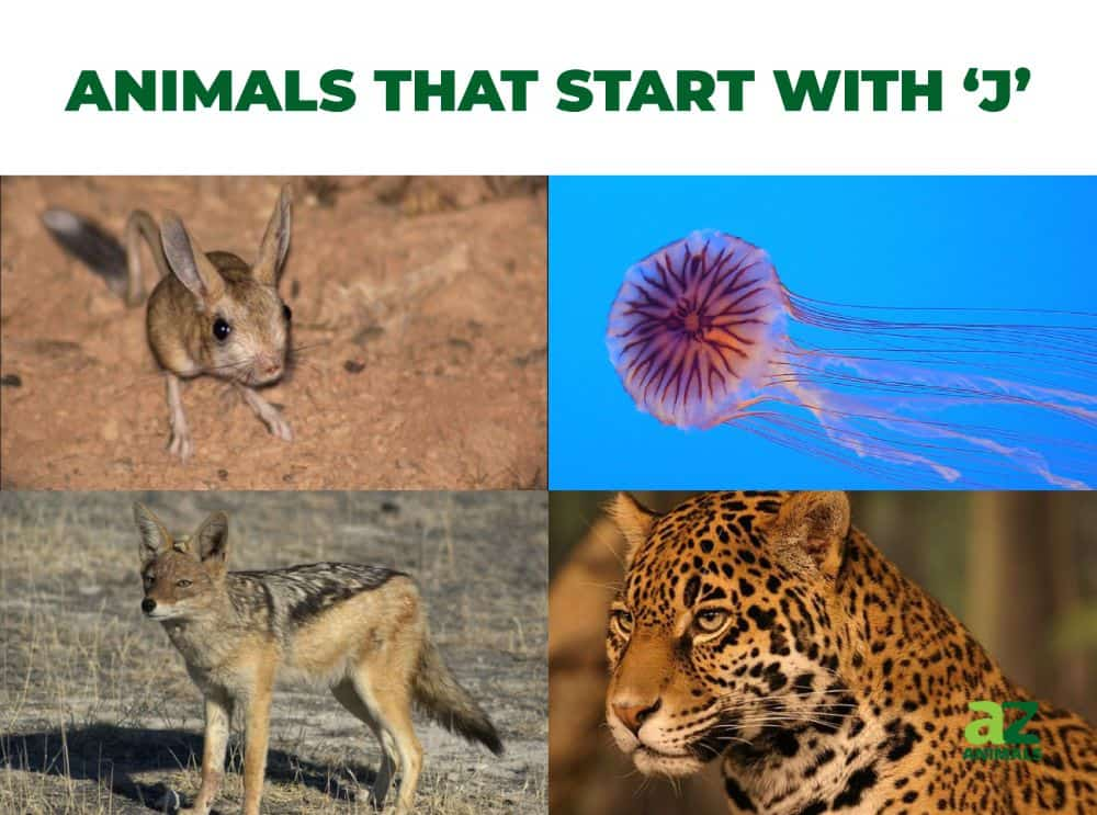Animals that start with the letter , including the Jellyfish & Jaguar