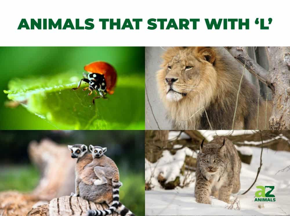 Animals that start with the letter , including the Ladybug & Lemur