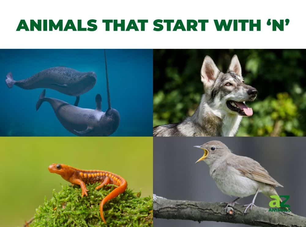 Animals that start with the letter N, including the Narwhal & Newt