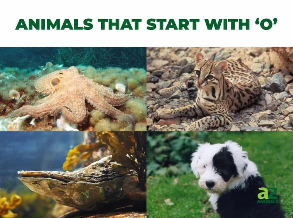 Animals that start with the letter O, including the Ocelot & Old English Sheepdog