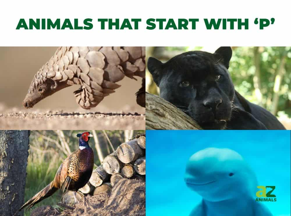 Animals that start with the letter P, including the Pangolin & Panther