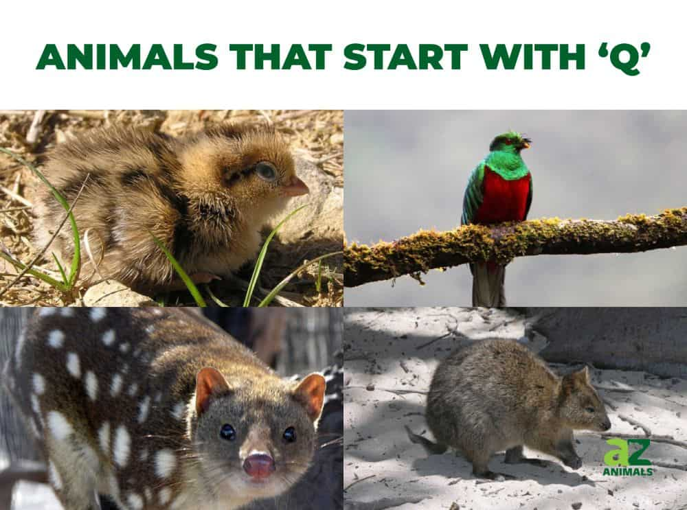 Animals that start with the letter Q, including the Quetzal & Quokka