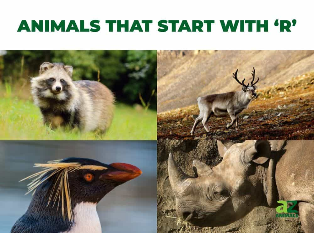 Animals that start with the letter R, including the Rockhopper Penguin & Rhinoceros