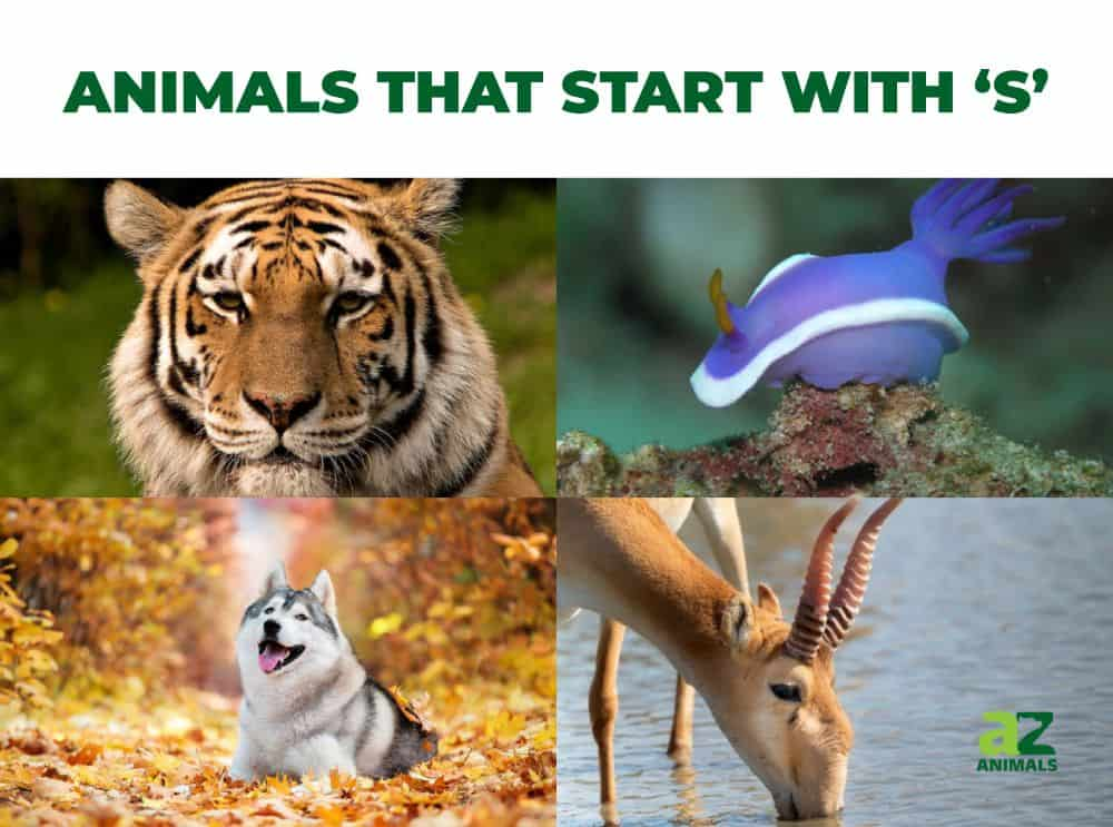 Animals that start with the letter S, including the Siberian Tiger & Siberian Husky