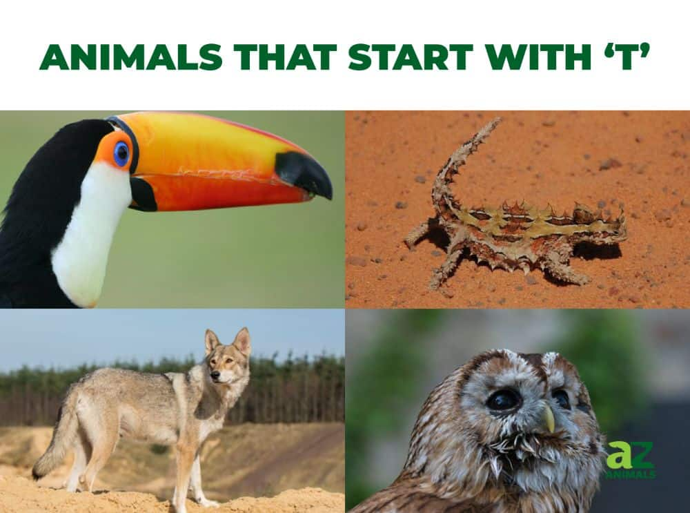 Animals that start with the letter T, including the Toucan & Thorny Devil