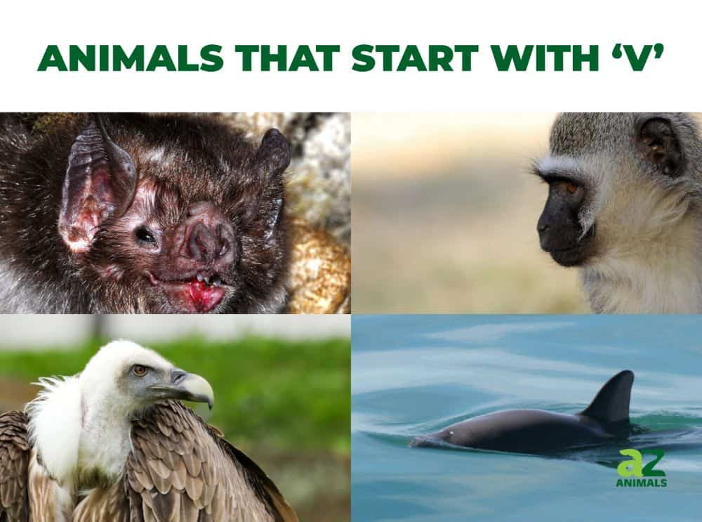 Animals that start with the letter , including the Vervet Monkey & Vaquita