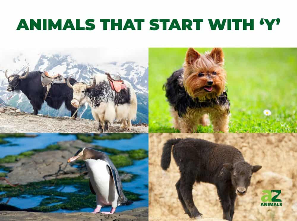 Animals that Start with Y