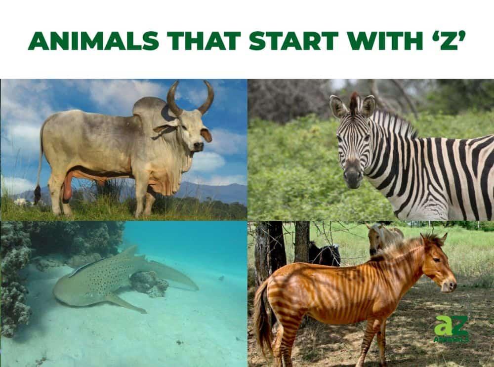 Animals that start with the letter Z, including the Zebra Shark & Zebu