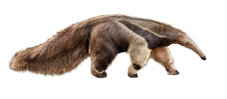 An isolated photo of an anteater on a white background