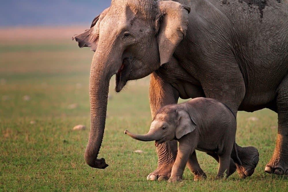 Wild Asian elephant mother and calf, Corbett National Park, India.