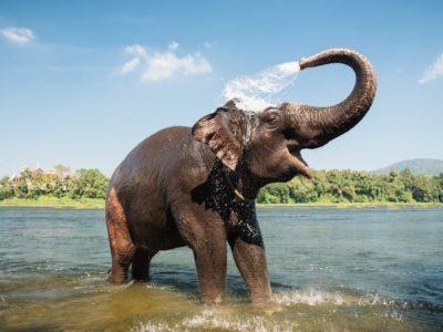 A Asian Elephant