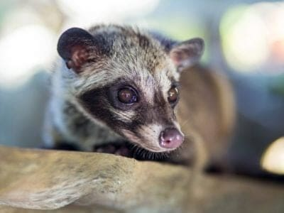 A Asian Palm Civet