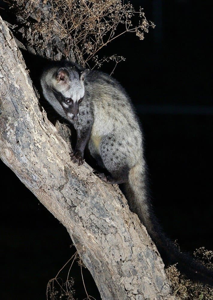 Asian palm civet on a tree branch