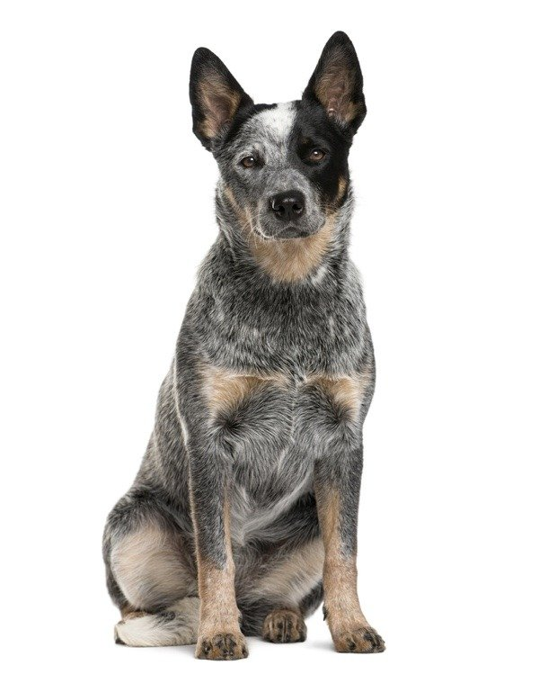 Australian Cattle Dog isolated on a white background
