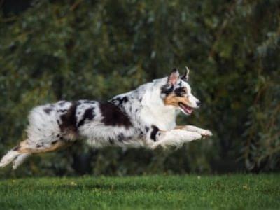 A Australian Shepherd