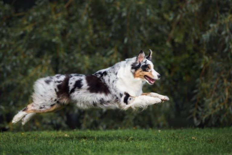 Happy Australian Shepherd dog running outdoors in summer