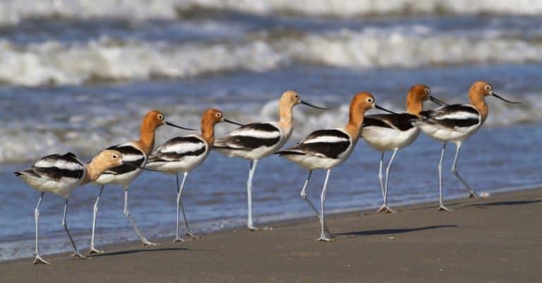 Group of avocet birds