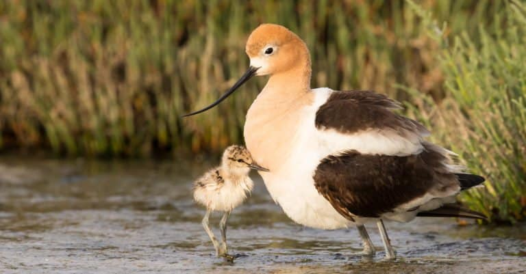 Avocet adult and baby