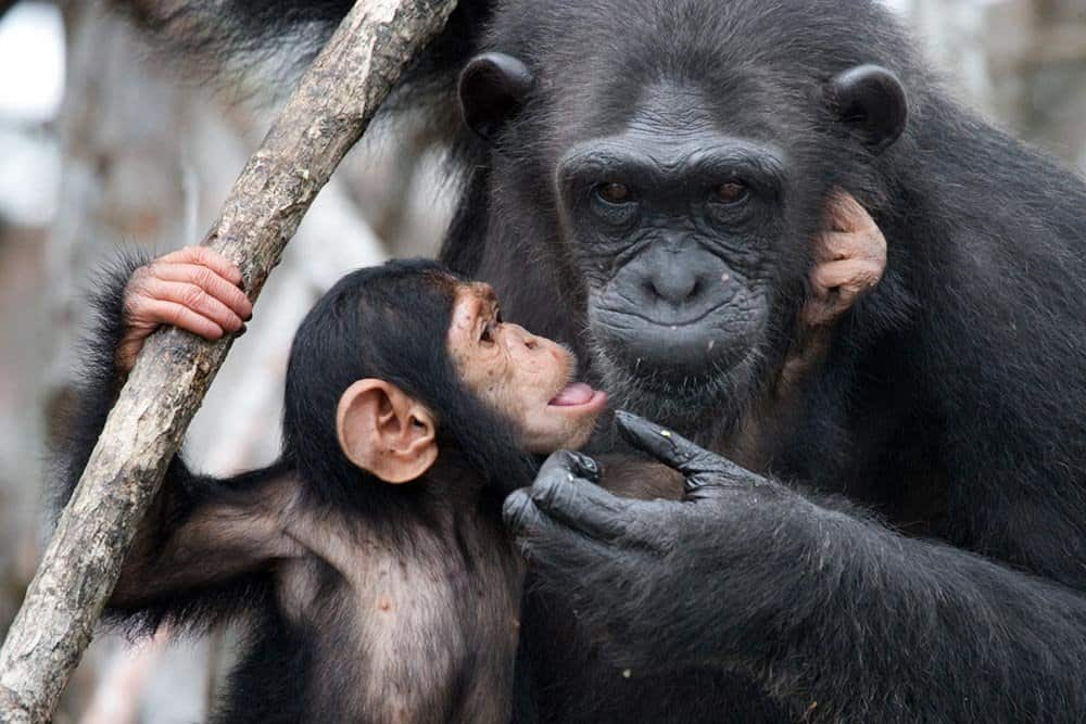 Chimps are the smartest animals on Earth next to humans.