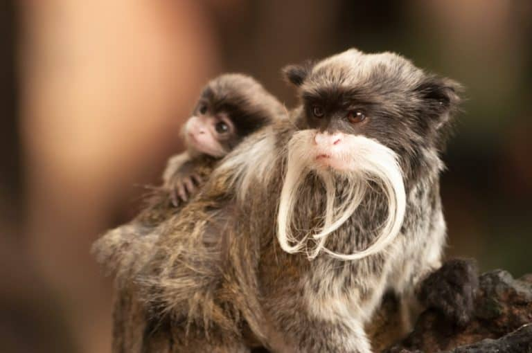 Emperor tamarin baby on its parent's back