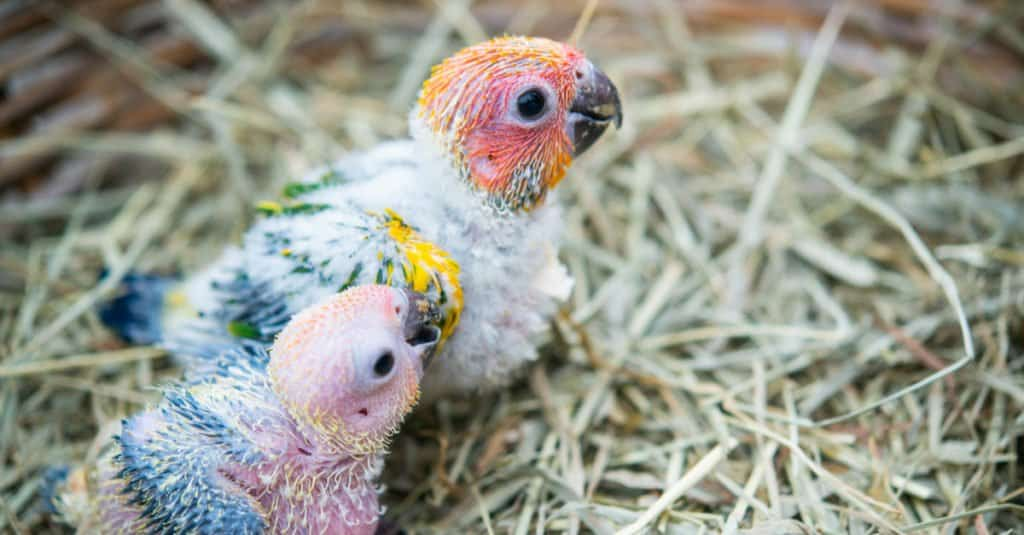 Two baby macaw birds