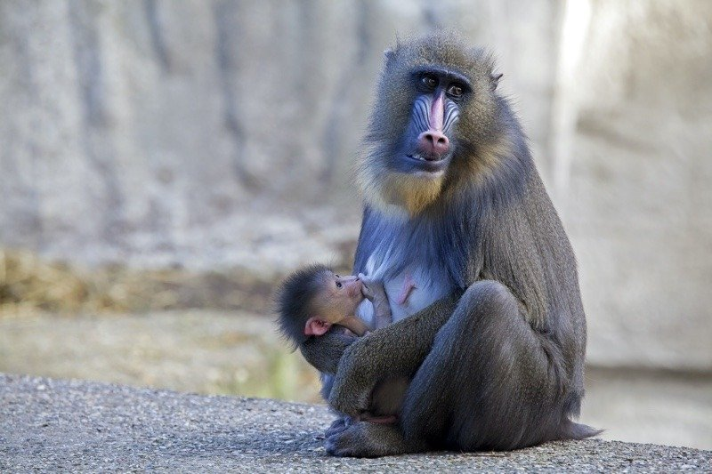 Mother and baby mandrill