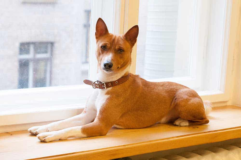 Basenjis are one of the best apartment dogs and like to sit on window sills
