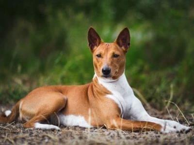 A Basenji Dog