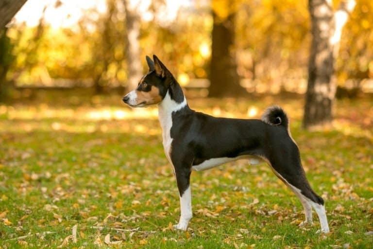 Basenji dog in the Autumn forest