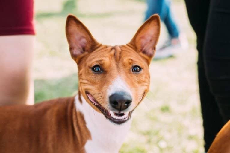 Basenji dog smiling at the camera