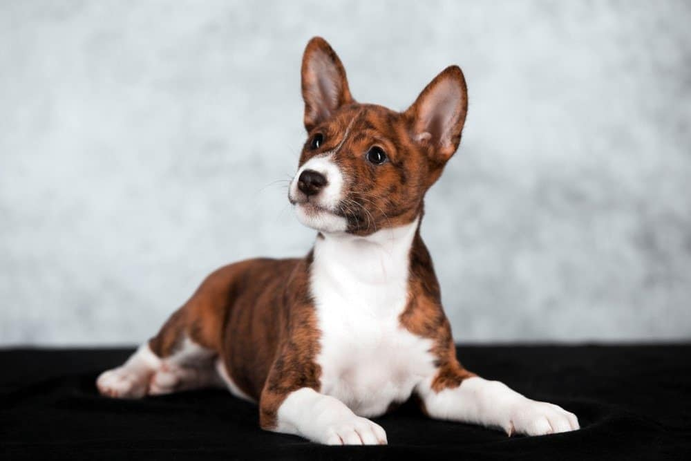Basenji puppy lying on a table