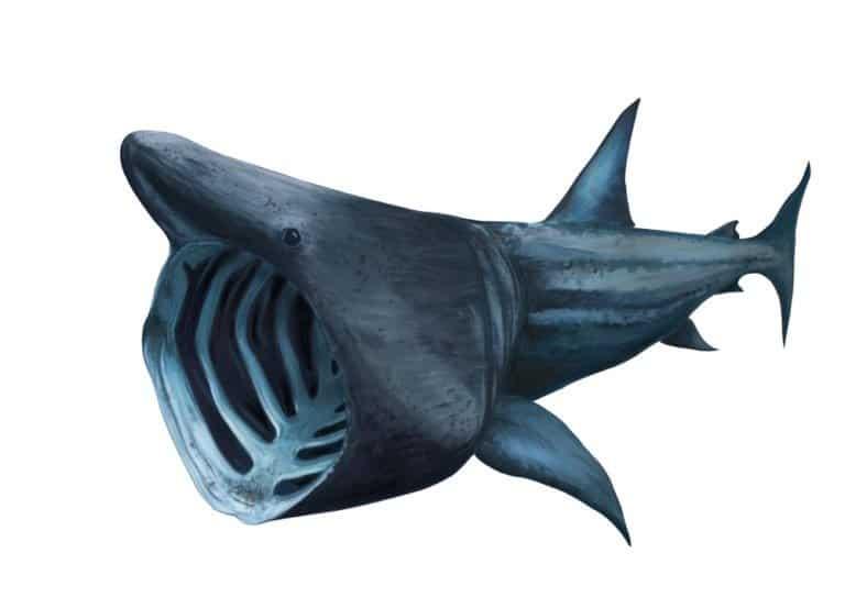 Basking shark isolated on white background