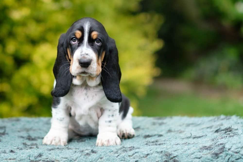 Basset Hound puppy with sad eyes