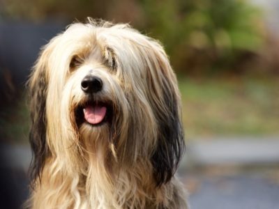 A Bearded Collie