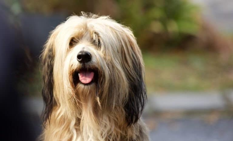 A bearded Collie sits with its tongue out waiting for a treat from it's owner