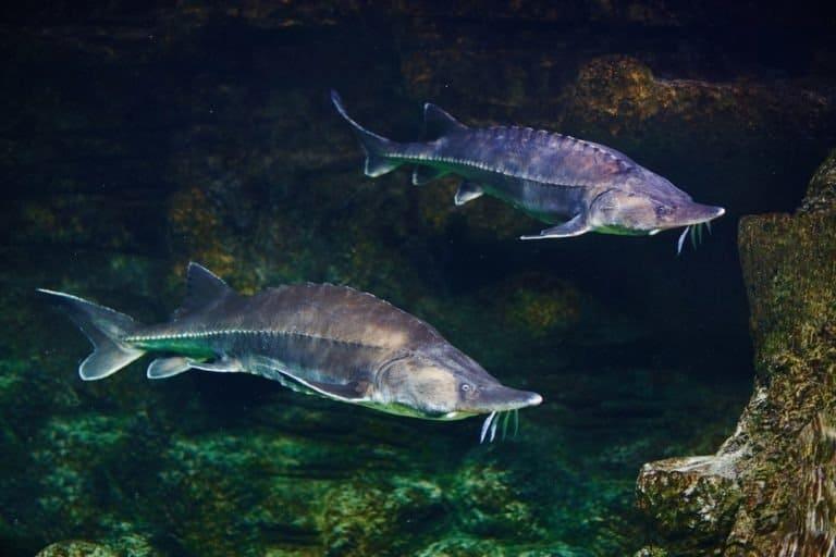 Beluga sturgeon in aquarium