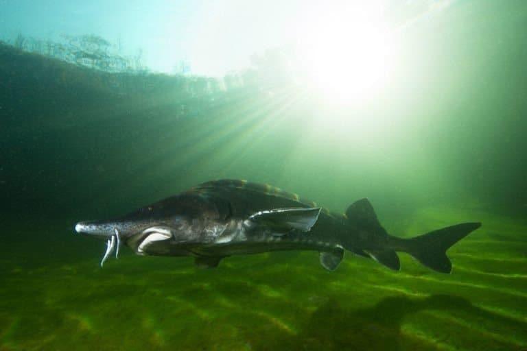 The biggest fish Beluga Sturgeon, Huso huso swimming in the river.